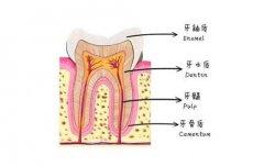 牙齒的內部結構是怎麼樣的呢?
